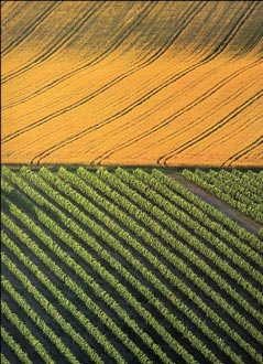 photo of wheat and a vineyard at harvest time