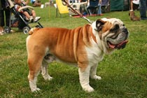 picture of a bull dog