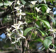 picture of the Clematis aristata flower