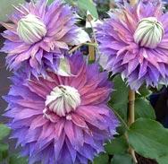 picture of clematis diamantina flowers