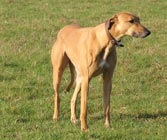 picture of a Greyhound/Rhodesian Ridgeback cross