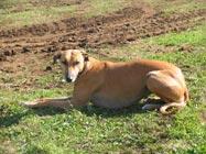 picture of a Greyhound/Rhodesian Ridgeback cross