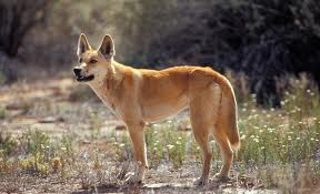 picture of an Australian dingo