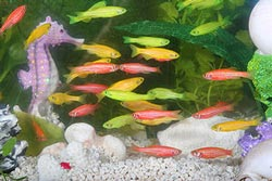 picture of glofish in an aquarium