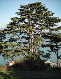 Picture of a Monterey Pine tree