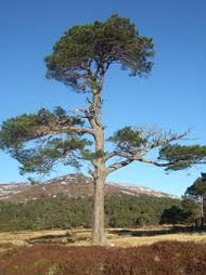 picture of a Scots Pine tree