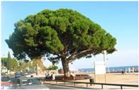 picture of a Stone Pine tree