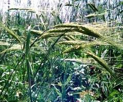 picture of Wild Emmer wheat