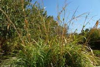 picture of wild teosintle maize