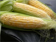 picture of yellow maize